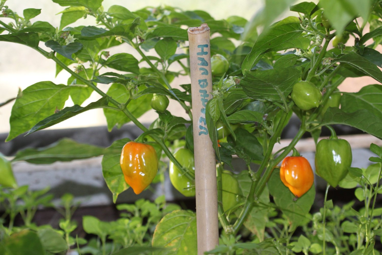 make your own hot sauce kit chillies growing